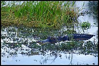 American Alligator in marsh. Everglades National Park, Florida, USA.