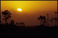 Sun emerging from behind cloud and  pine group. Everglades National Park, Florida, USA. (color)