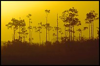 Foggy sunrise with pines. Everglades National Park, Florida, USA. (color)