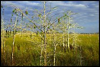 Cypress and sawgrass near Pa-hay-okee, morning. Everglades National Park, Florida, USA.