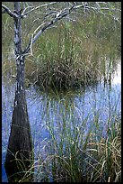 Swamp with cypress and sawgrass  near Pa-hay-okee, morning. Everglades National Park, Florida, USA. (color)