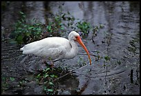 Ibis. Everglades National Park ( color)