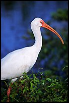 White Ibis. Everglades National Park ( color)
