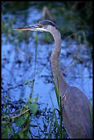 Blue heron. Everglades National Park ( color)