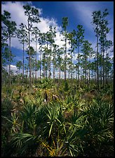Slash pines and saw-palmetttos, remnants of Florida's flatwoods. Everglades National Park, Florida, USA. (color)