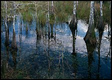 Bald Cypress reflections near Pa-hay-okee. Everglades National Park, Florida, USA. (color)