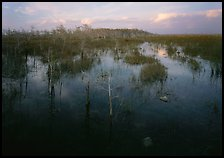Freshwater marsh with Pond Cypress and sawgrass, evening. Everglades National Park, Florida, USA. (color)