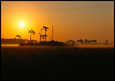 Sun rising behind group of pine trees. Everglades National Park, Florida, USA.