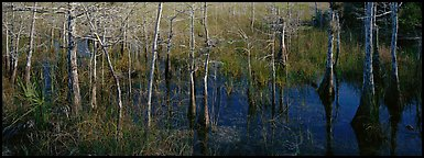 Marsh scene with cypress trees and reflections. Everglades  National Park (Panoramic color)