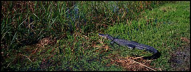 Young alligator. Everglades  National Park (Panoramic color)