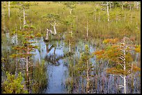 Dwarf cypress and N-shaped tree. Everglades National Park ( color)