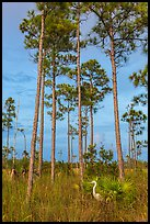Great white heron amongst pine trees. Everglades National Park ( color)
