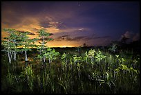 Dwarf cypress at night, Pa-hay-okee. Everglades National Park ( color)
