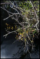 Native Butterfly Orchid (Encyclia tampensis) growing in marsh. Everglades National Park, Florida, USA. (color)