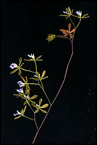 Close-up of Encyclia tampensis branch with orchid flowers. Everglades National Park, Florida, USA. (color)