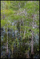 Cypress with green needles. Everglades National Park, Florida, USA. (color)