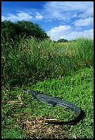 Young alligator at Eco Pond. Everglades National Park, Florida, USA.