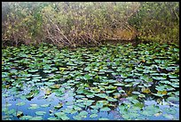 Lily pads, Shark Valley. Everglades National Park ( color)