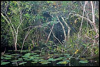 Lily pads and thicket, Shark Valley. Everglades National Park ( color)