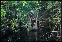 Trees growing in water, Shark Valley. Everglades National Park ( color)
