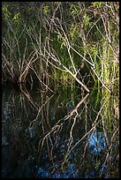 Branches and reflections, Shark Valley. Everglades National Park ( color)