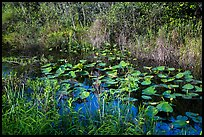 Grasses and water lillies, Shark Valley. Everglades National Park ( color)