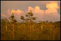 Cypress and clouds at sunset. Everglades National Park ( color)