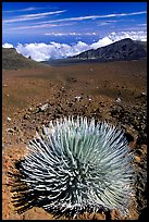 Silversword, an endemic plant, in Haleakala crater near Red Hill. Haleakala National Park, Hawaii, USA. (color)
