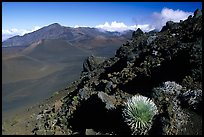 Silversword in Haleakala crater, Sliding sands trail. Haleakala National Park, Hawaii, USA. (color)