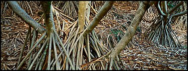 Roots, trunks and fallen leaves of Pandemus trees. Haleakala National Park (Panoramic color)