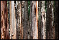 Multicolored Eucalyptus trees, Hosmer Grove. Haleakala National Park, Hawaii, USA.