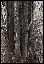 Eucalyptus tree trunks, Hosmer Grove. Haleakala National Park, Hawaii, USA.