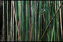Bamboo stems. Haleakala National Park, Hawaii, USA. (color)