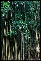 Thick Bamboo forest. Haleakala National Park, Hawaii, USA. (color)