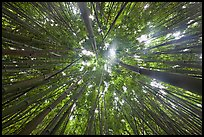 Looking up bamboo forest. Haleakala National Park, Hawaii, USA. (color)
