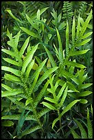 Maile-Scented Fern (Phymatosorus scolopendria). Haleakala National Park, Hawaii, USA. (color)