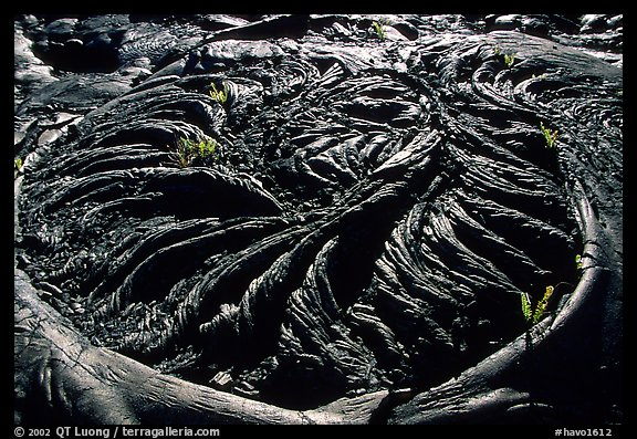 Ferns growing out of hardened pahoehoe lava circle. Hawaii Volcanoes National Park, Hawaii, USA.
