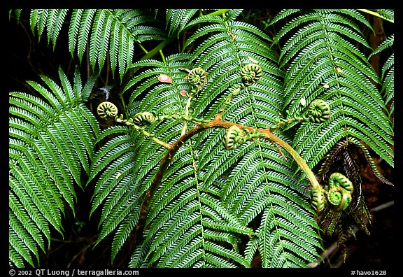 Hawaian ferns. Hawaii Volcanoes National Park, Hawaii, USA.