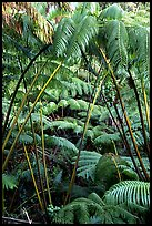 Lush tropical ferms near Thurston lava tube. Hawaii Volcanoes National Park, Hawaii, USA.