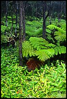 Hawaiian rain forest ferns and trees. Hawaii Volcanoes National Park, Hawaii, USA.