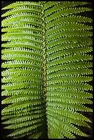 Fern frond close-up. Hawaii Volcanoes National Park, Hawaii, USA. (color)