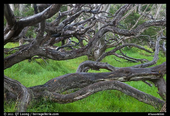 Forest of koa trees. Hawaii Volcanoes National Park (color)
