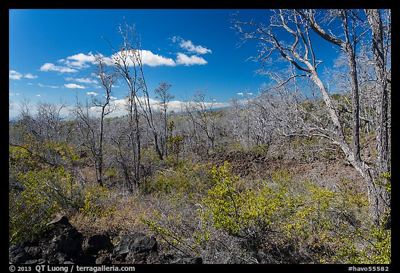 Dead Ohia Lehua trees. Hawaii Volcanoes National Park, Hawaii, USA.