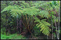 Giant ferns in Kipuka Puaulu old growth forest. Hawaii Volcanoes National Park ( color)