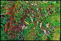 Ground close-up with ferns, grasses, and fallen koa leaves. Hawaii Volcanoes National Park ( color)