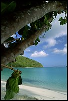 Noni tree (Morinda citrifolia) and beach, Maho Bay. Virgin Islands National Park ( color)