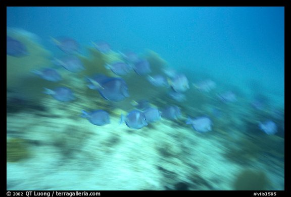 School of blue fish in motion. Virgin Islands National Park, US Virgin Islands.