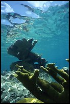 Elkhorn coral underwater. Virgin Islands National Park, US Virgin Islands. (color)