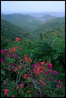 Bougainvillea flowers and view from ridge. Virgin Islands National Park, US Virgin Islands. (color)