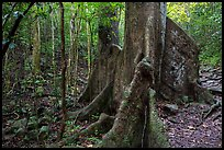 Kapok tree. Virgin Islands National Park ( color)